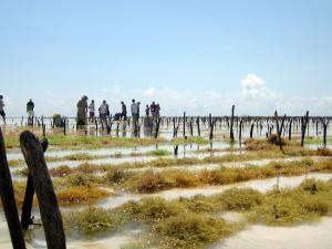 Zanzibar - ferme aux algues (9)